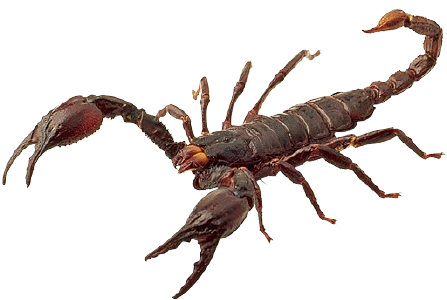 Aren't scorpions terribly poisonous?